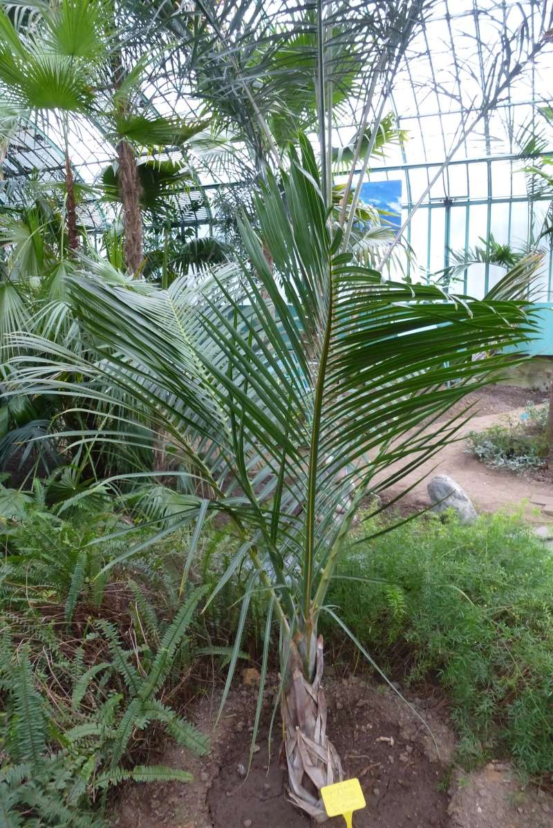 Hyophorbe verschaffeltii - palmier bouteille Hyopho11