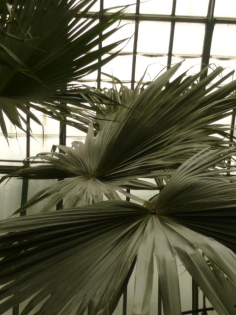 Saribus rotundifolius  (= Livistona rotundifolia) Livist11