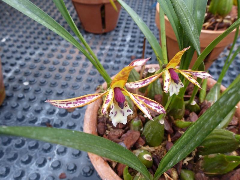 Quelques orchidées de Chèvreloup le 31  Mars 2016  Maxill10