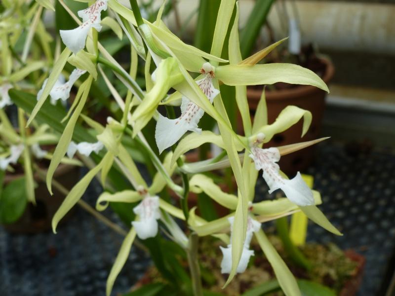 Quelques orchidées de Chèvreloup le 31  Mars 2016  Milton10