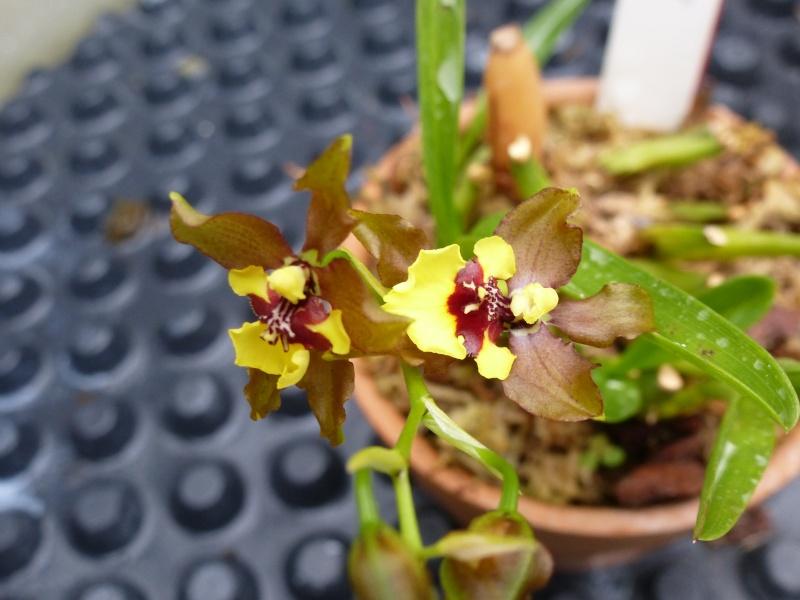 Quelques orchidées de Chèvreloup le 31  Mars 2016  P1180010