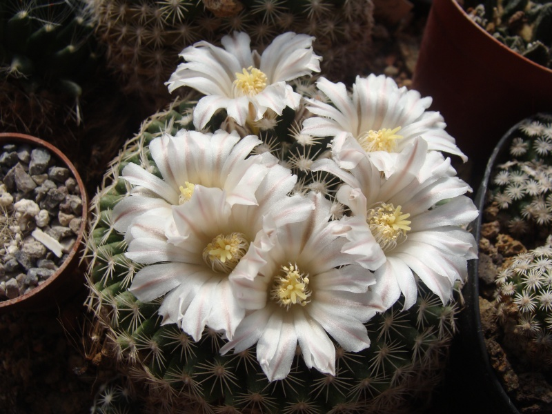 Mamm. couahuilensis /P. schwarzii/ Dsc09410