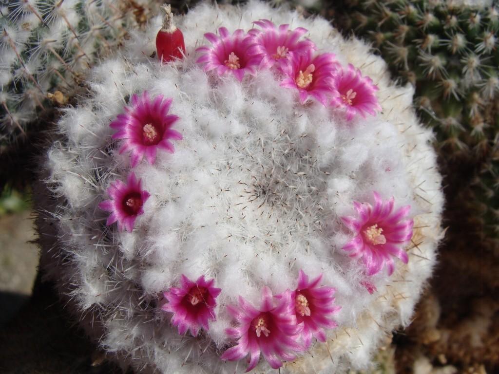 ID. Mammillaria, please Dsc09515