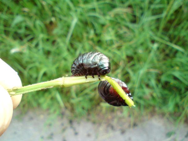 identif. larves Larve110