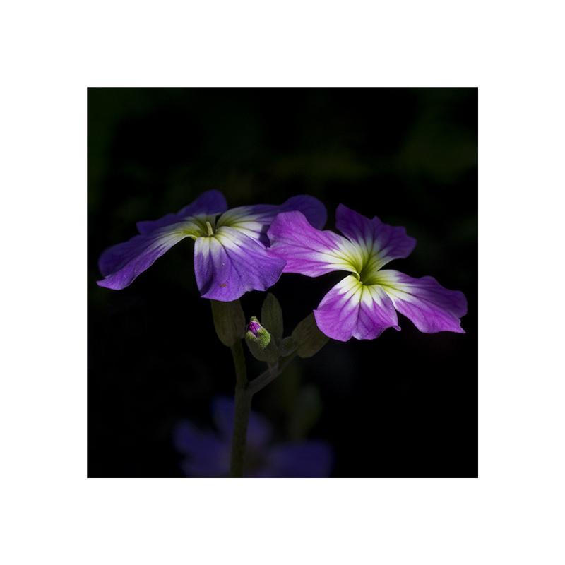 Printemps (mini série) ... Violet10