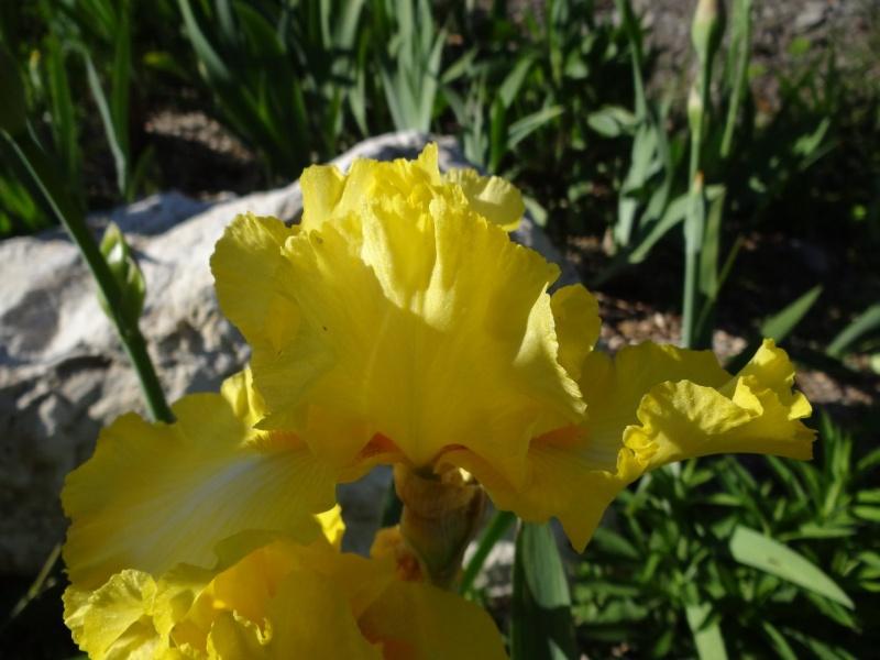 Floraisons 2016 de nos grands iris barbus et Bilan - Page 2 Dsc07211
