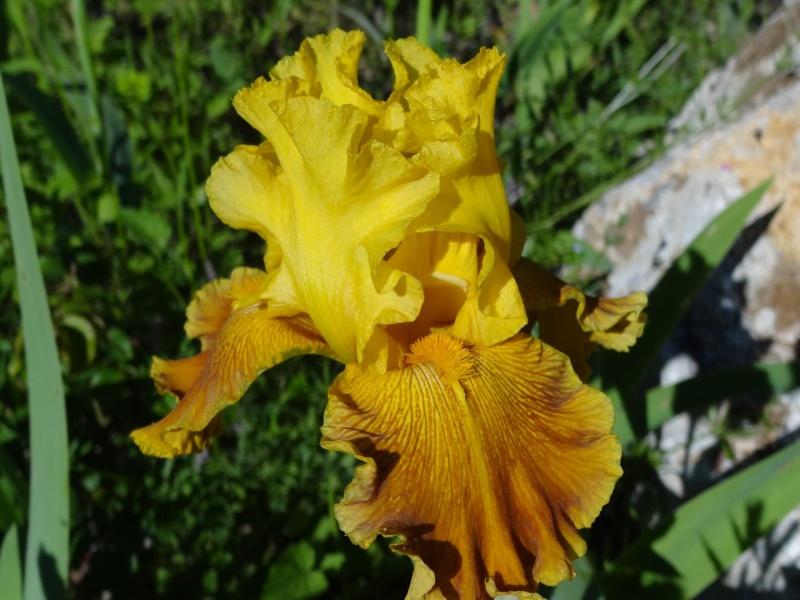 Floraisons 2016 de nos grands iris barbus et Bilan - Page 2 Dsc07214