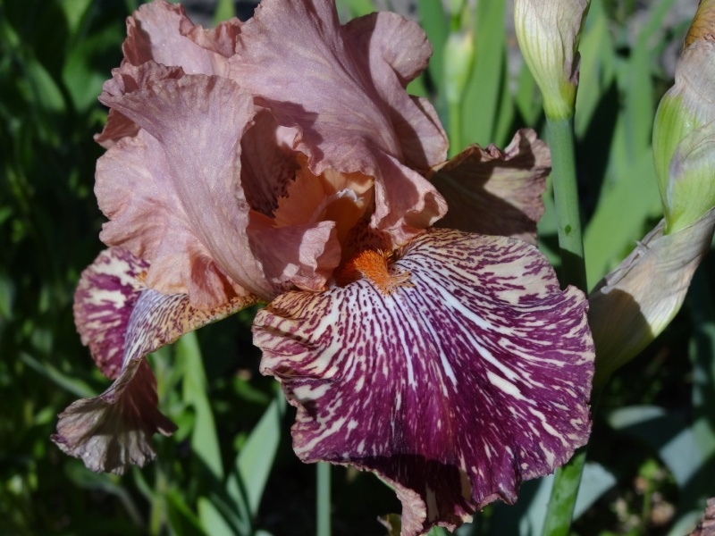 Iris broken color Dsc07219