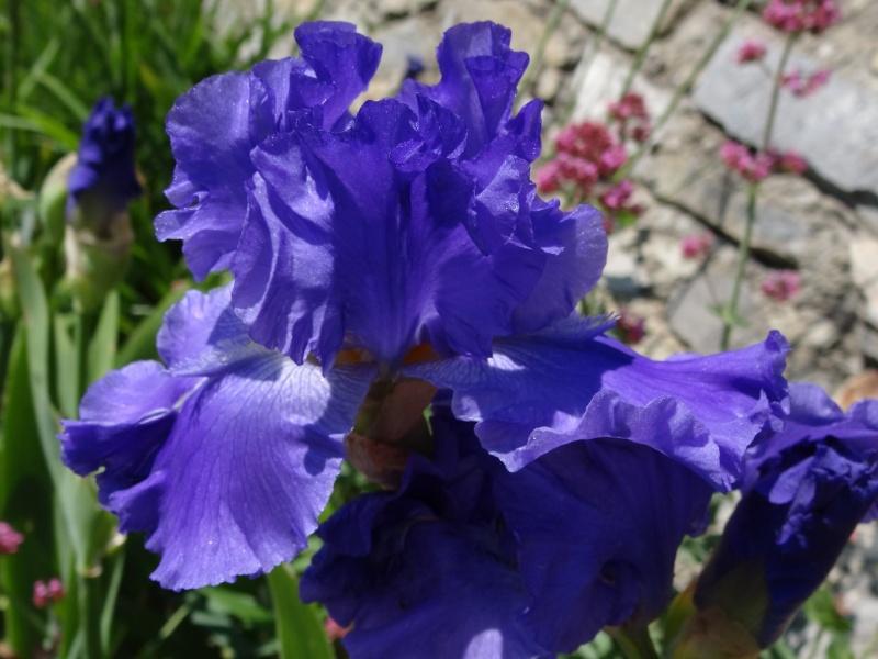 Floraisons 2016 de nos grands iris barbus et Bilan - Page 2 Dsc07322