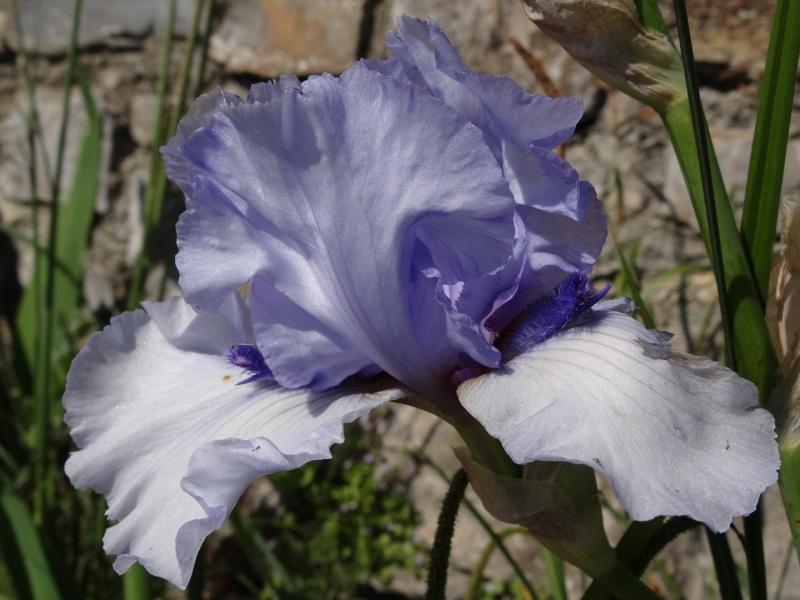 Floraisons 2016 de nos grands iris barbus et Bilan - Page 2 Dsc07323
