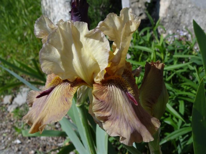 Floraisons 2016 de nos grands iris barbus et Bilan - Page 2 Dsc07324