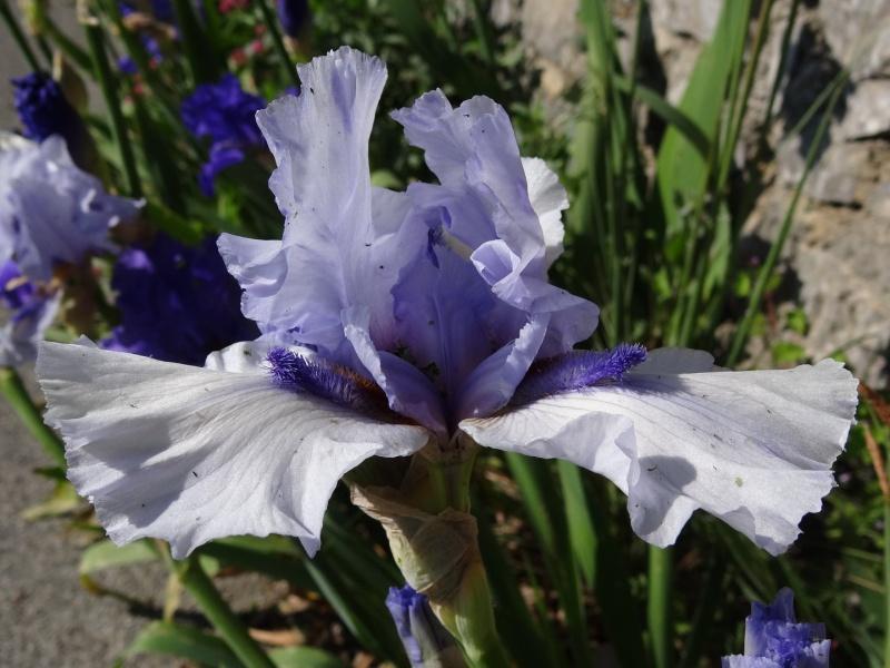 Floraisons 2016 de nos grands iris barbus et Bilan - Page 2 Dsc07325