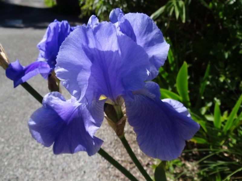 Floraisons 2016 de nos grands iris barbus et Bilan - Page 2 Dsc07328