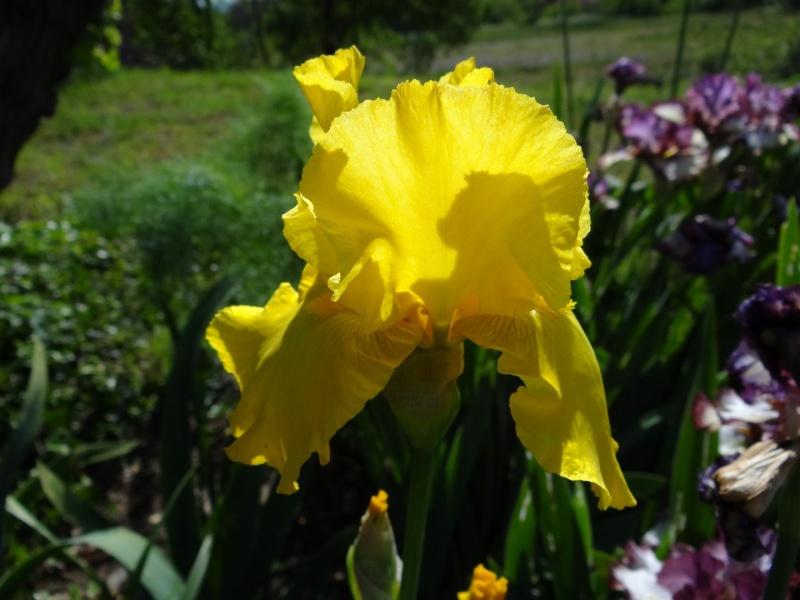 Floraisons 2016 de nos grands iris barbus et Bilan - Page 2 Dsc07330