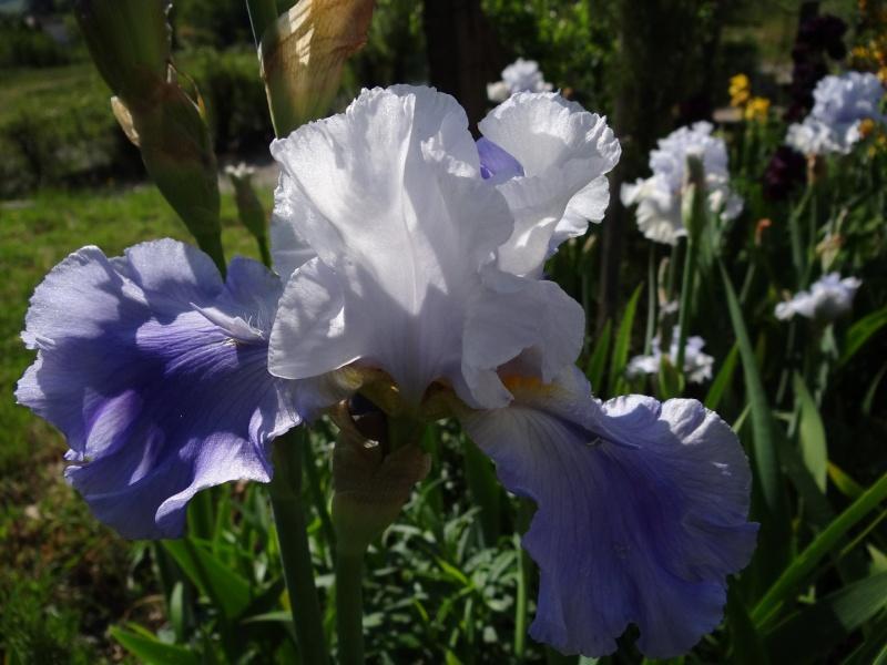 Floraisons 2016 de nos grands iris barbus et Bilan - Page 2 Dsc07331