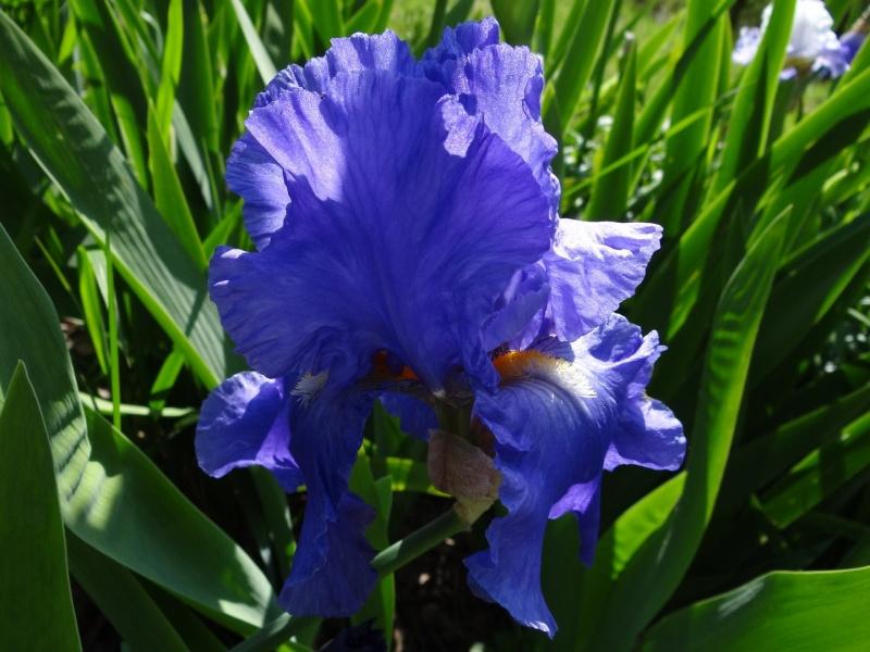 Floraisons 2016 de nos grands iris barbus et Bilan - Page 2 Dsc07334