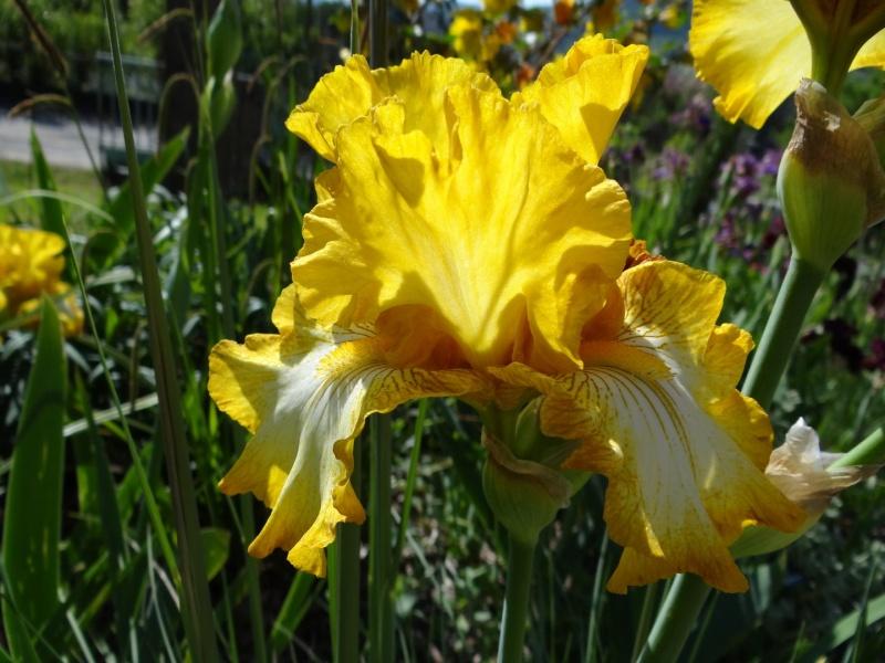 Floraisons 2016 de nos grands iris barbus et Bilan - Page 2 Dsc07338