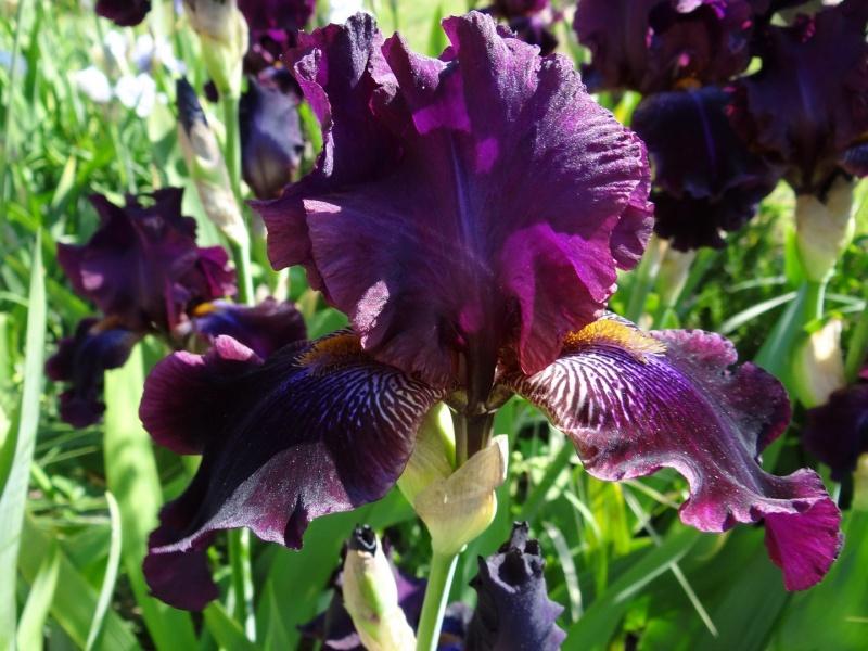 Floraisons 2016 de nos grands iris barbus et Bilan - Page 2 Dsc07339