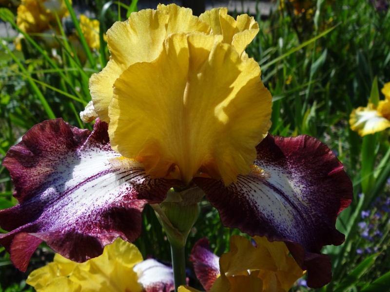 Floraisons 2016 de nos grands iris barbus et Bilan - Page 2 Dsc07340