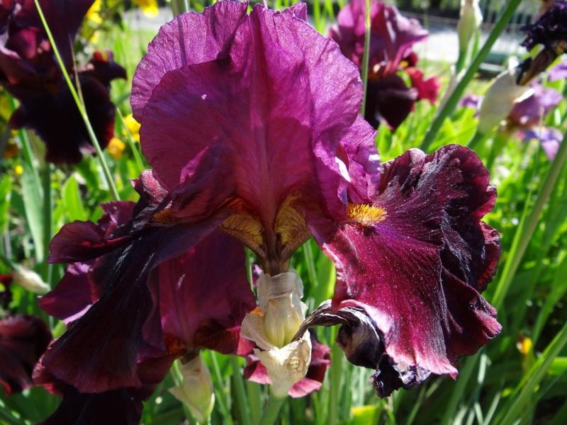 Floraisons 2016 de nos grands iris barbus et Bilan - Page 2 Dsc07341