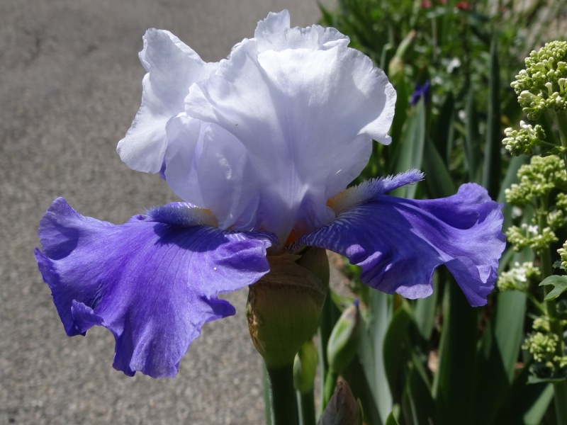 Floraisons 2016 de nos grands iris barbus et Bilan - Page 2 Dsc07345
