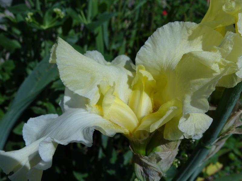 Floraisons 2016 de nos grands iris barbus et Bilan - Page 2 Dsc07347