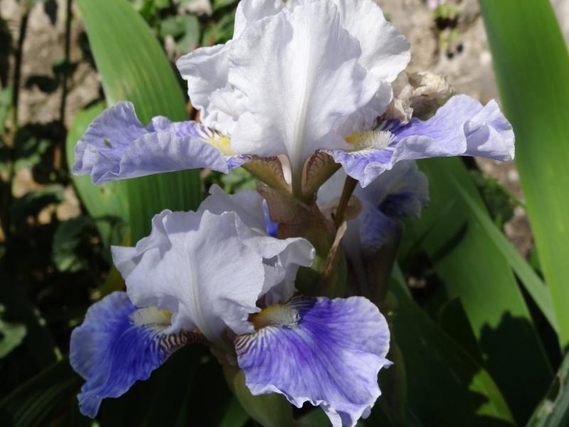 Floraisons 2016 de nos grands iris barbus et Bilan - Page 2 Dsc07348