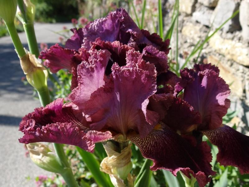 Floraisons 2016 de nos grands iris barbus et Bilan - Page 2 Dsc07350