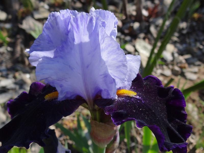 Floraisons 2016 de nos grands iris barbus et Bilan - Page 2 Dsc07363