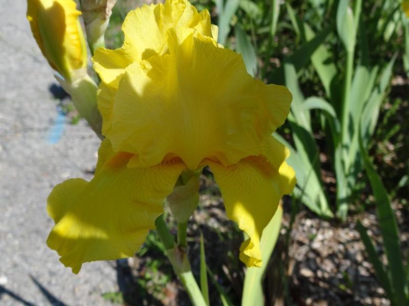 Floraisons 2016 de nos grands iris barbus et Bilan - Page 2 Dsc07367