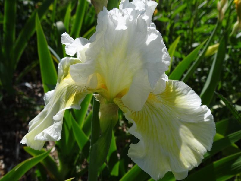 Iris 'Berlingot' ('Bonbon Acidulé') - J-P. Combes (NE) Dsc07368