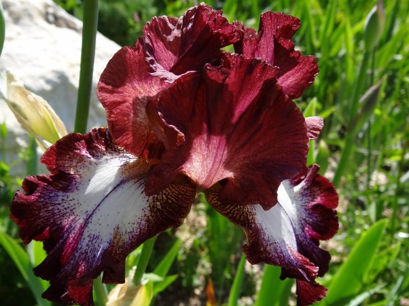 Iris 'Moïse' - Virginie Fur (enreg. Laporte) 2004 Dsc07371