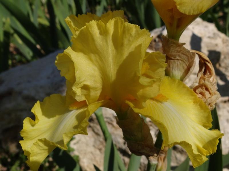 Floraisons 2016 de nos grands iris barbus et Bilan - Page 2 Dsc07423