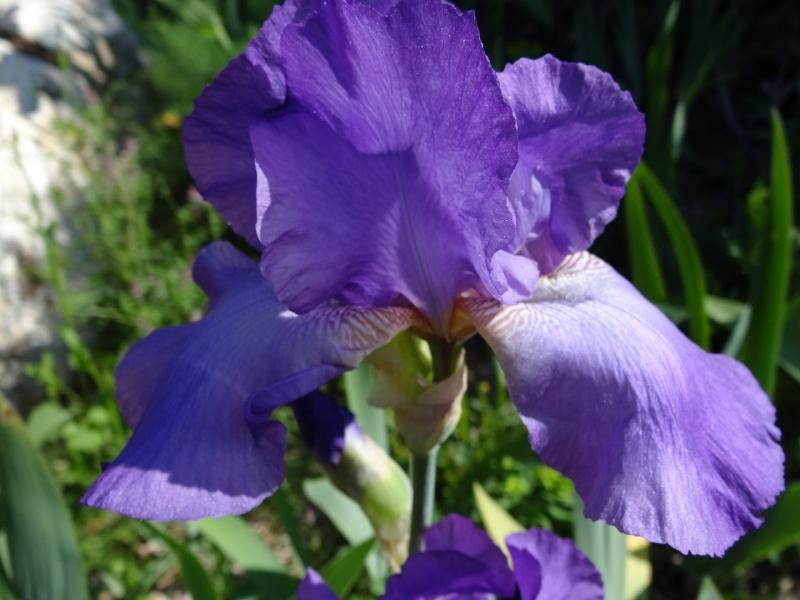 Floraisons 2016 de nos grands iris barbus et Bilan - Page 2 Dsc07424