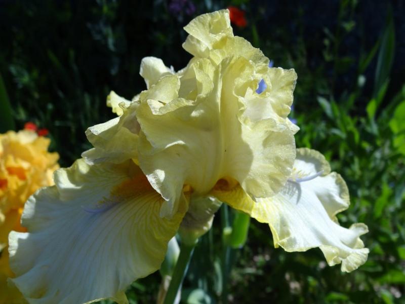 Iris 'Sky Hooks' - Osborne 1980 Dsc07429