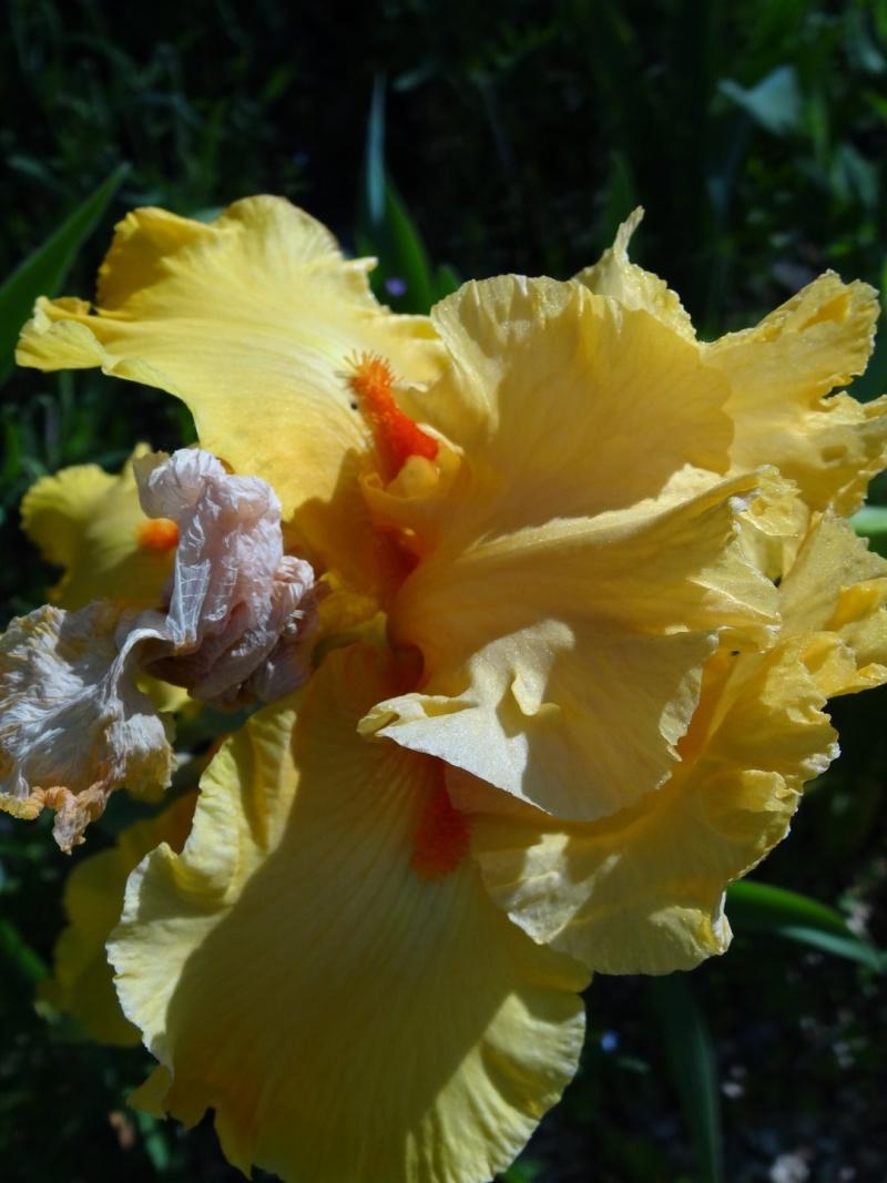 Floraisons 2016 de nos grands iris barbus et Bilan - Page 2 Dsc07430