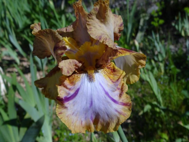 Iris broken color Dsc07432