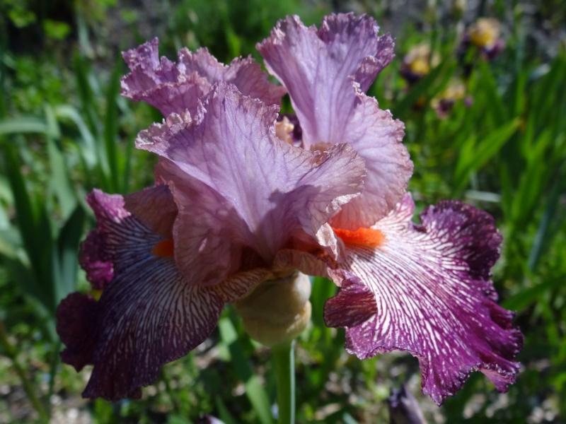 Floraisons 2016 de nos grands iris barbus et Bilan - Page 2 Dsc07433