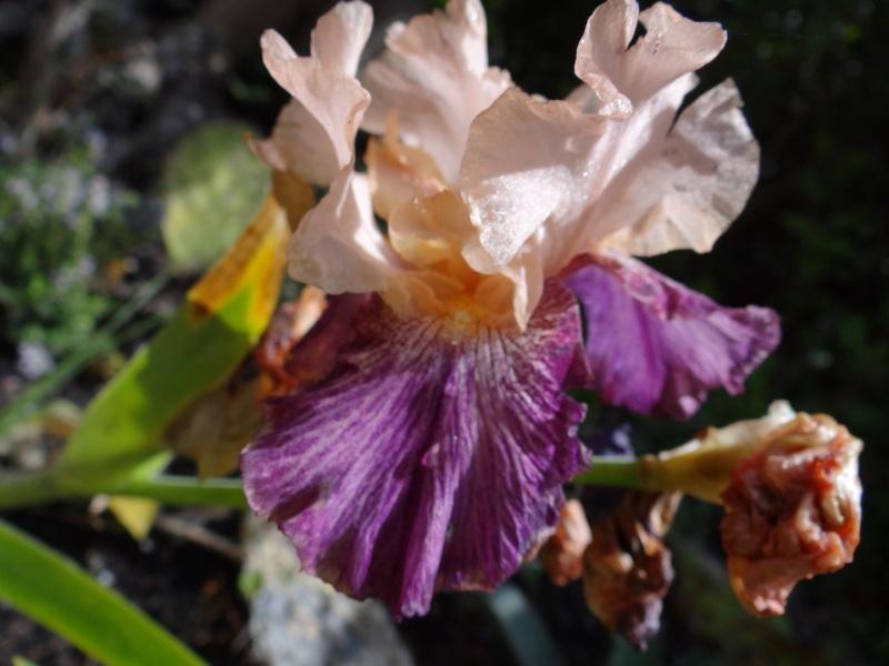 Floraisons 2016 de nos grands iris barbus et Bilan - Page 3 Dsc07437