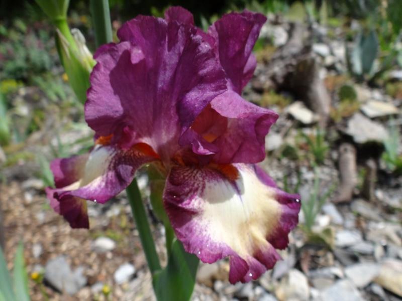 Floraisons 2016 de nos grands iris barbus et Bilan - Page 3 Dsc07443
