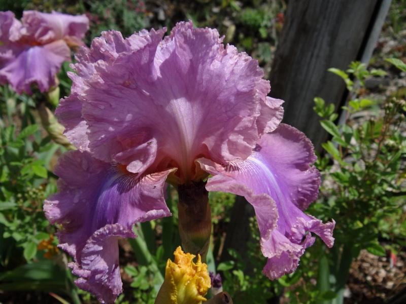 Floraisons 2016 de nos grands iris barbus et Bilan - Page 3 Dsc07444