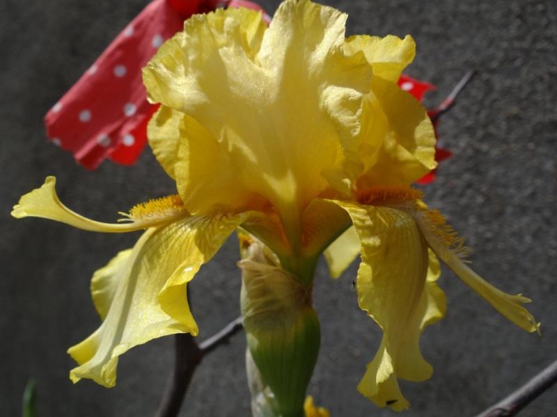 Floraisons 2016 de nos grands iris barbus et Bilan - Page 3 Dsc07445