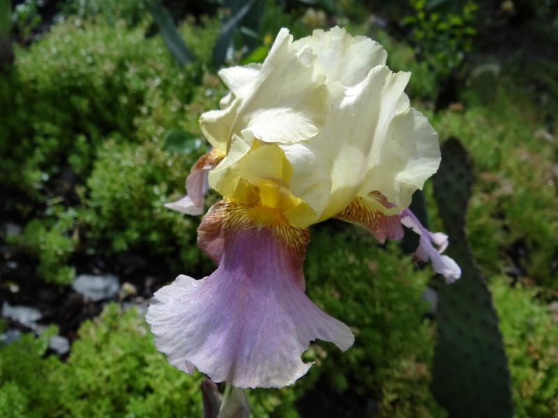 Floraisons 2016 de nos grands iris barbus et Bilan - Page 3 Dsc07448