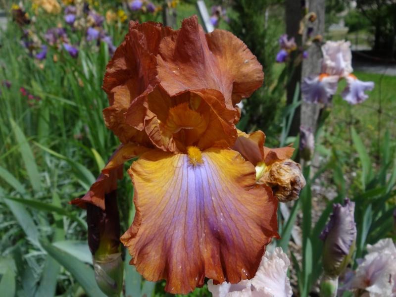 Floraisons 2016 de nos grands iris barbus et Bilan - Page 3 Dsc07449