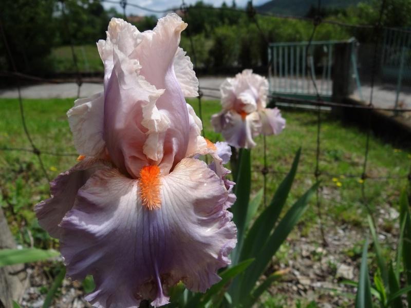 Floraisons 2016 de nos grands iris barbus et Bilan - Page 3 Dsc07450
