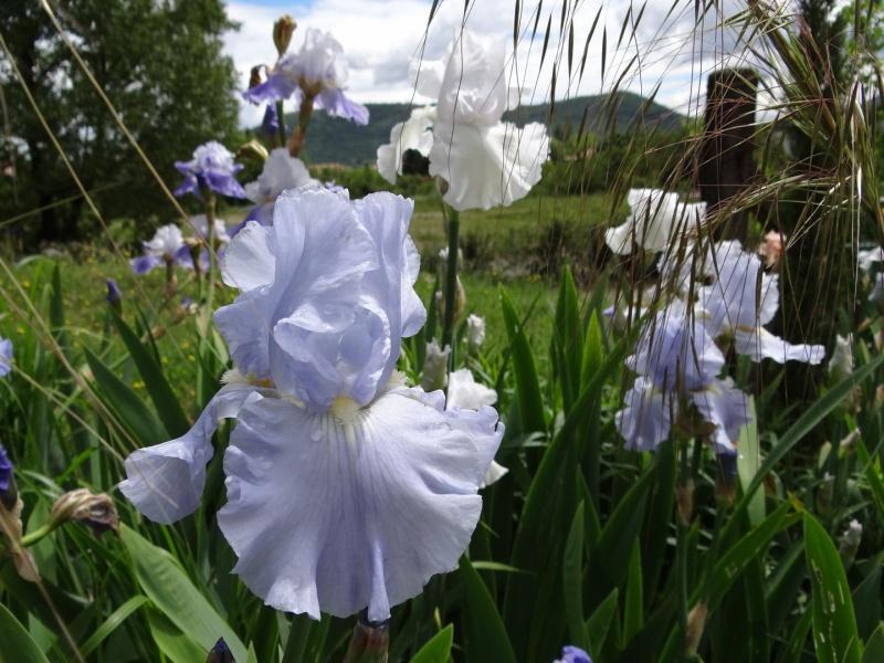 Floraisons 2016 de nos grands iris barbus et Bilan - Page 3 Dsc07511