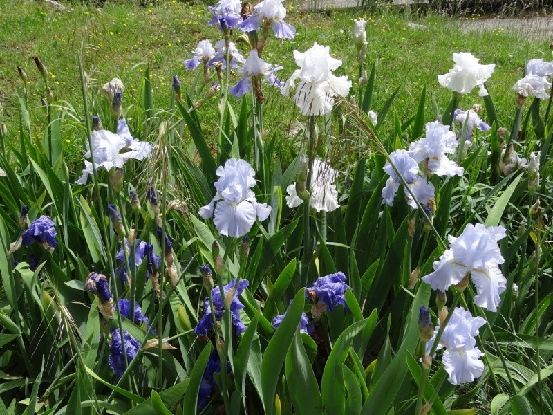 Floraisons 2016 de nos grands iris barbus et Bilan - Page 3 Dsc07512