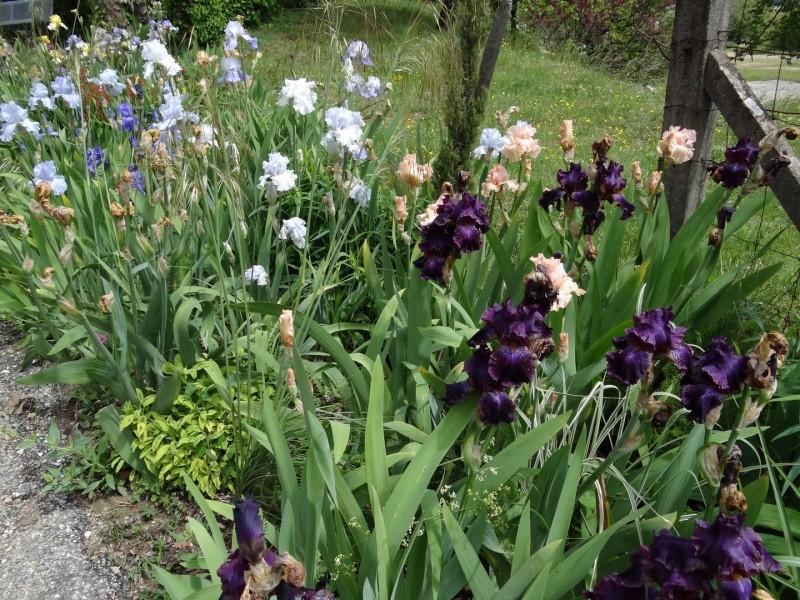 Floraisons 2016 de nos grands iris barbus et Bilan - Page 3 Dsc07513