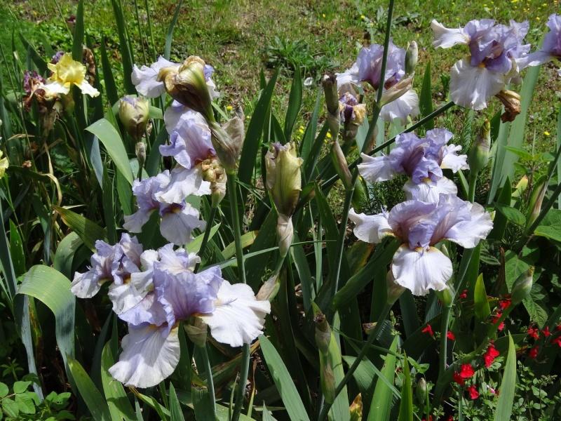 Floraisons 2016 de nos grands iris barbus et Bilan - Page 3 Dsc07519
