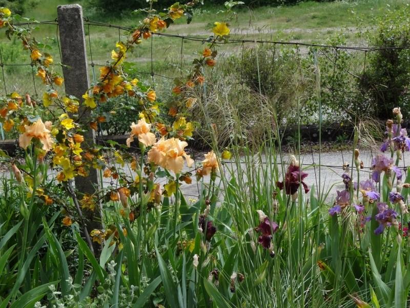 Floraisons 2016 de nos grands iris barbus et Bilan - Page 3 Dsc07520